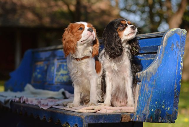 9 Regal Facts About the Cavalier King Charles Spaniel | Mental Floss