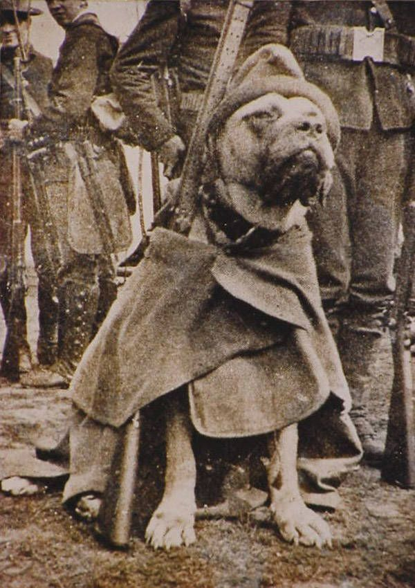 American military dog Sergeant Stubby poses for a portrait while wearing a great coat during World War I. 1917.