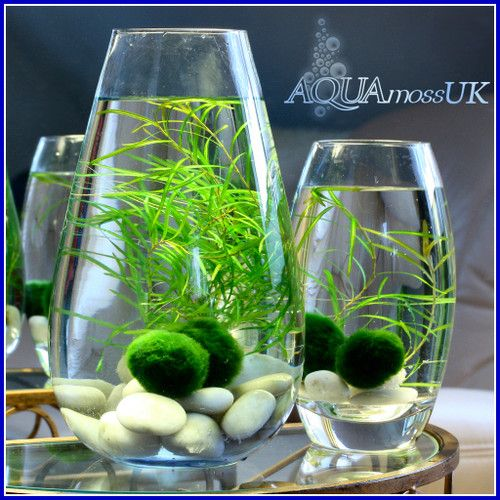 1 small marimo moss ball unique and rare live plant great for Live fish tank