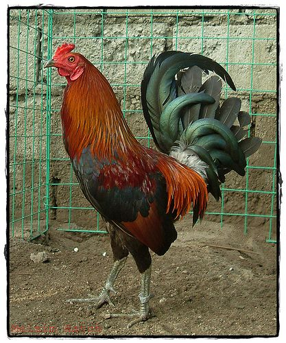 Hatch Game Fowl | Roosters | Game fowl, Rooster, Chicken ...