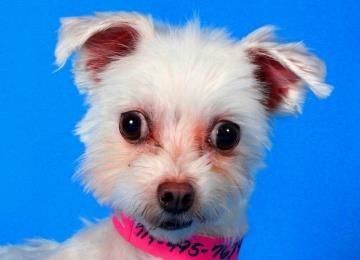 Benita is available for adoption at National Mill Dog Rescue. #adopt #dog #nmdr #puppymill #adoptdontshop