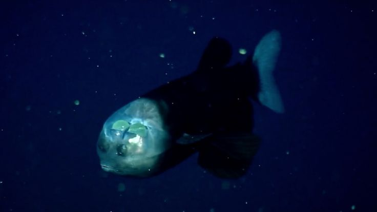 Real sea monsters freakier than anything on SyFy: Barreleye