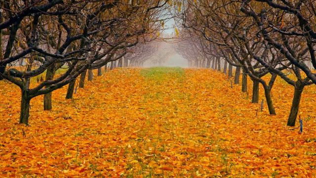 Pear orchard in Okanagan Vally, British Columbia, Canada