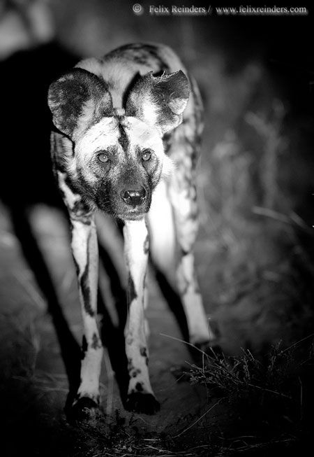 monochrome-wild-dog