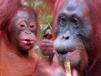 Orang-oetans spotten in Camp Leaky. Nationaal Park Tanjung Puting #Kalimantan #Borneo #Indonesië #reizen