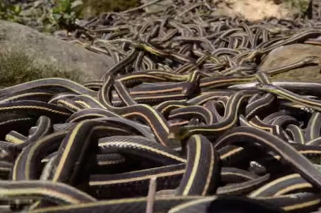 Inside the World's Largest Snake Orgy: Manitoba  (never ever going to say anything about having loads of snakes in the garden again)