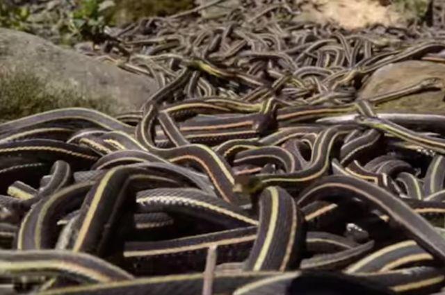 Inside the World's Largest Snake Orgy