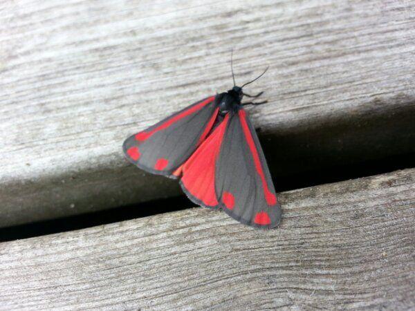 Blodplet sommerfugl / a Tyria jacobaeae in my exotic garden - www.iminhave.dk