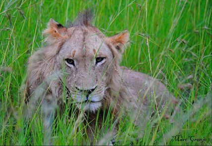Another stunning sighting at Umkumbe Safari Lodge in the Sabi Sands. Our thanks to Marc Cronje for this beauty!