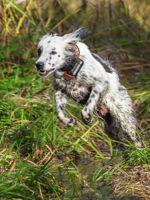 Laurel Mt Llewellins Puppies::World Class Gun Dogs for the Serious Upland Bird Hunter