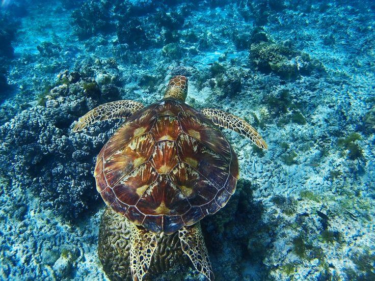 På Panglao Island i Filippinerne kan du både opleve hvalhajer og havskildpadder!