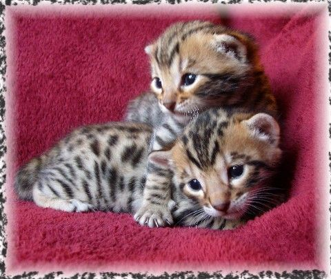 AsianFire Bengals is a small in-home TICA Bengal cattery located in southeast OK. We raise beautiful Bengal kittens underfoot for maximum socialization, in Snow and Brown Spotteds. Our lines...