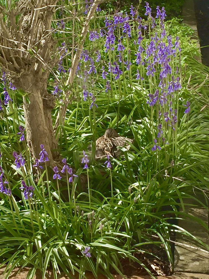 Duck nesting in one of our flower beds.