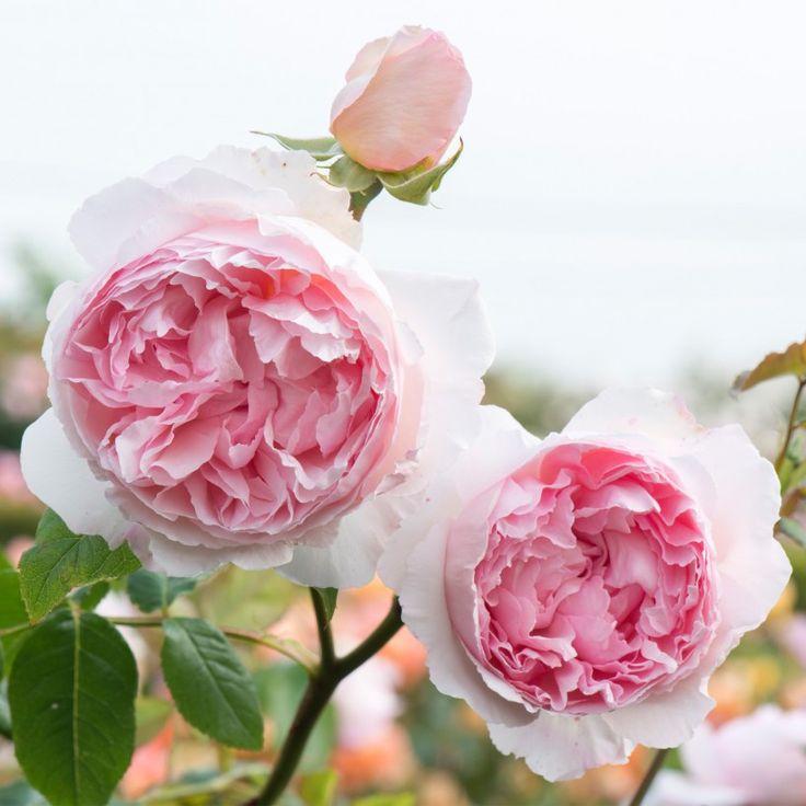 The Wedgwood Rose - English Rose Shrubs - English Roses