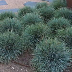 Festuca glauca  Blue Fescue Elijah Blue is a hardy dwarf grass with fine, wiry greyish-blue leaves and spikes of blue-green flowers during summer. Prefers a full sun position, ideal for pots and containers.  Grows 30cm high x 25cm wide. %2...