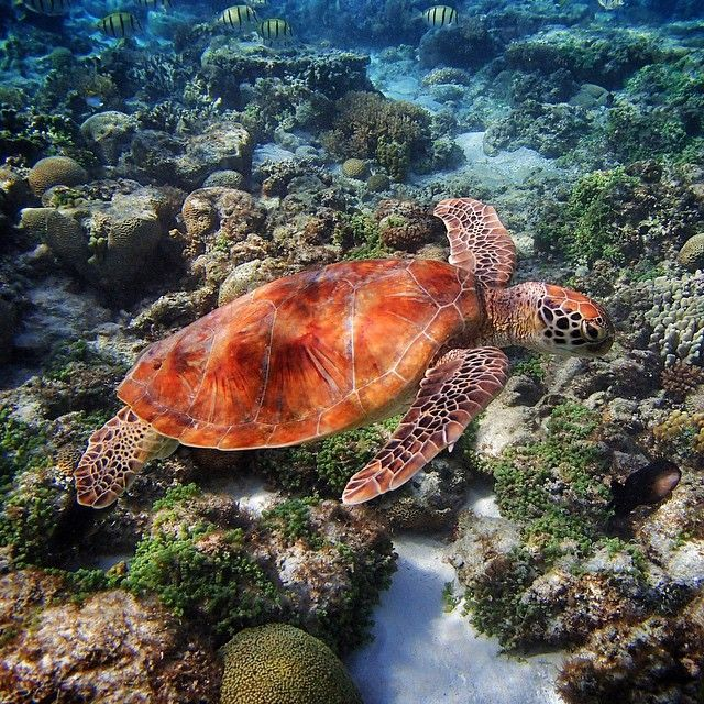 The Lady Elliot Island Eco Resort is home to a coral bay filled with marine life such as this gorgeous tutle!