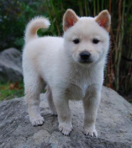 Korean Jindo Dog valpar (Den här annonsen är inaktiv) - So cute!!!