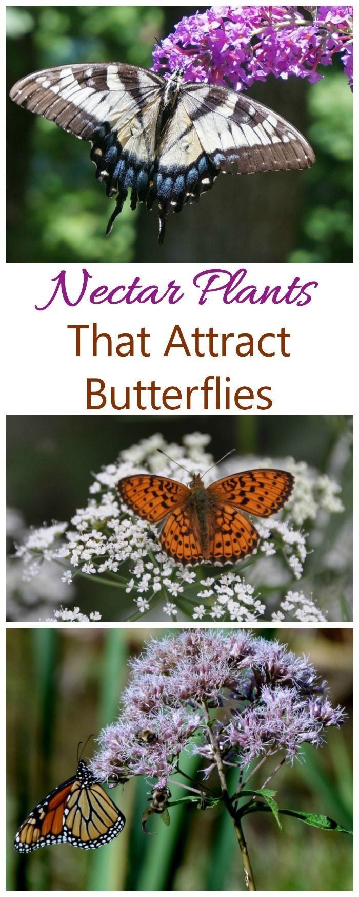 Nectar Plants such as yarrow, butterfly weed and butterfly bush are good for attracting butterflies #nectarplants #butterflies