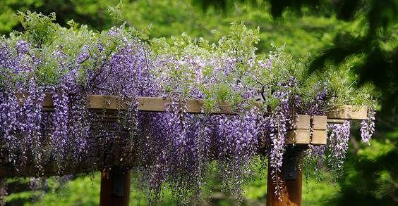 Oltre 25 fantastiche idee su piante rampicanti su pinterest for Piante rampicanti ornamentali