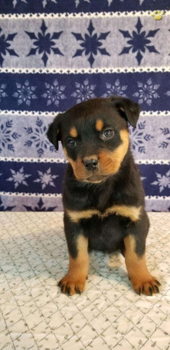 Pin By Toni Santoro On Animals Rottweiler Puppies Rottweiler