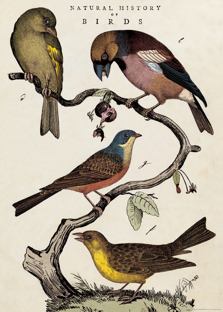 """Cavallini Natural History Birds Wrap 20"""" x 28"""" - Printed on Cavallini's signature Italian paper (archival) - Perfect for wrapping, as posters, framing and other creative endeavors - Best selling and m"""