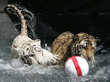 Tiguers playing soccer in the water