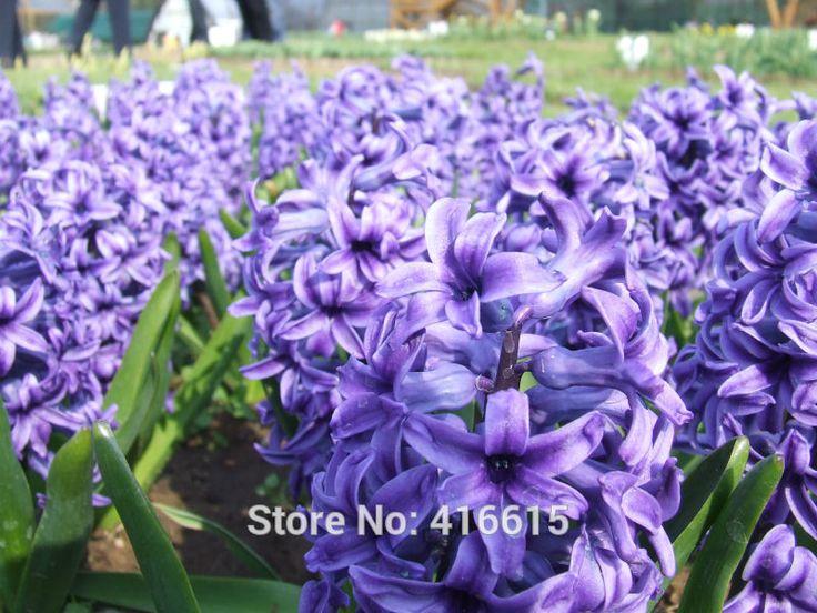 Сад Гиацинт Синий Пиджак Яркий Фиолетовый Цветок Семена Свежие Принудительного Лампы Водяной Гиацинт Ароматный Посадки Гиацинты 2 Лампы