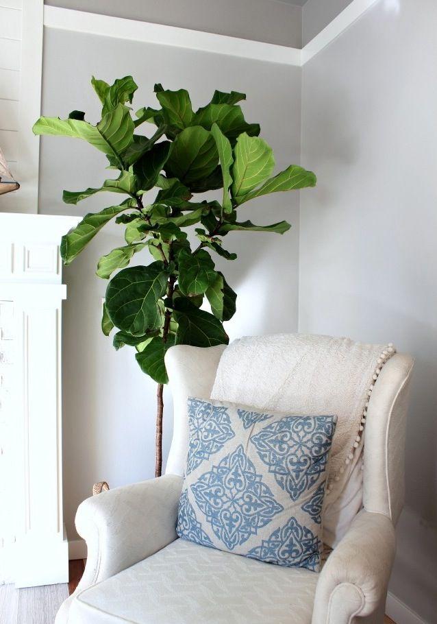 82 best images about fiddle fig on pinterest indoor plants fiddle leaf fig tree and figs. Black Bedroom Furniture Sets. Home Design Ideas