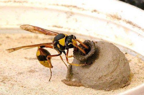 Vespa Sceliphron caementarium, costruisce il nido con fango e lo stesso loro vomito a forma di urna, viene utilizzato come nido o per tenere le prede.