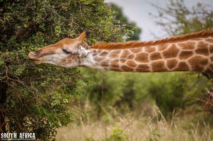Sud Africa – Giraffe