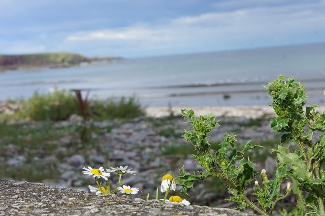 Daisies and rocks. Stonehaven Beach, Aberdeenshire, Scotland.