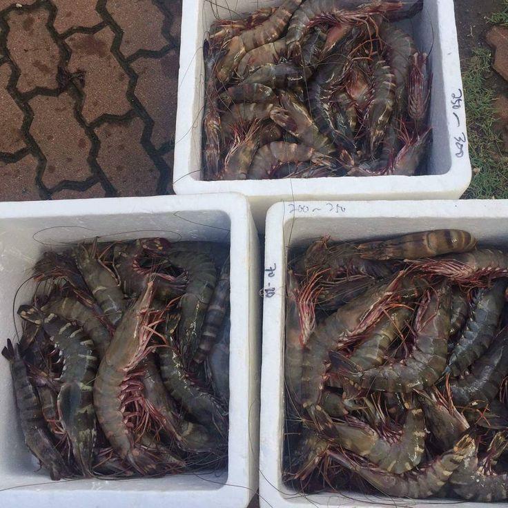 Thing about the dreams you had last night to make your lazy morning a beautiful one. #crab #kepiting #instagood #instafood #foodgram #jogja #surabaya #ketapang #pontianak #export #ikan #fish #seafood #photography #udang #udangwindu #shrimp #prawn #lobster #indonesia #milkfish #dubai #thailand #hongkong #malaysia #china #foodporn #singapore #japan #blackpomfret