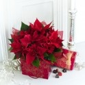Pointsettia Gift plant with chocolates online for chirstmas