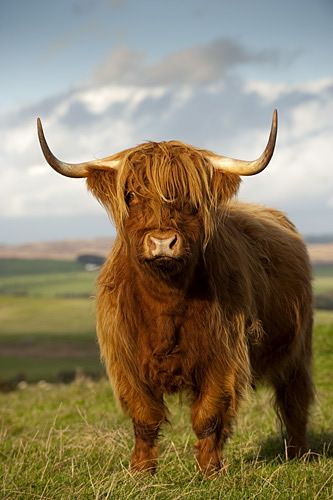 HIGHLAND COW (looks like mya)