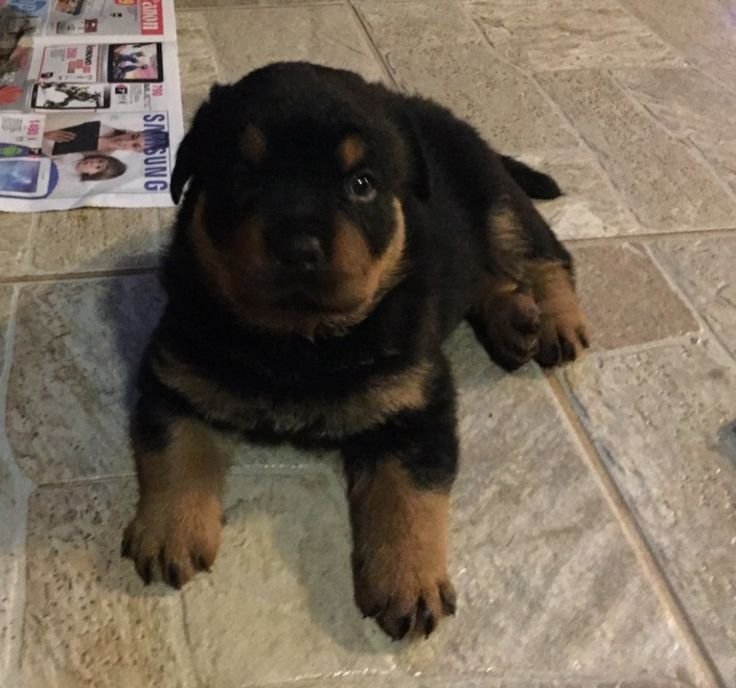 German Rottweiler Puppy-Bears For Sale We have an amazing litter of home raised, cute & fuzzy Rottweiler puppies - 3 Males & 2 Females.   Mom & dad our gentle giants, both come from good bloodlines - they are healthy, strong, loyal and the most loving family dogs and on the premises for viewing too!   Our pups will be ready for their new homes from the 15th March 2015 - inoculated, dewormed & vet checked!   No chancers please - only interested parties need call & more pictures are available…