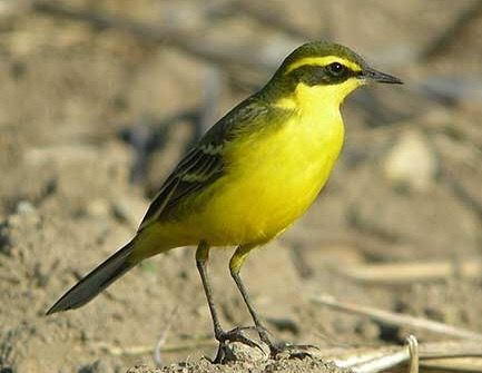 The Eastern Yellow Wagtail is migratory and moves S after breeding, travelling long-distances from UK and Europe to reach South Asia and Australia in October. The return migration to N starts in February to April.
