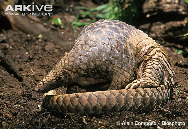 Sunda pangolin, side view -endangered