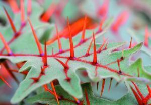 Solanum pyracanthum (devil's thorn).