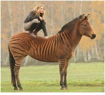 The Zorse is one of a number of equine hybrids that are ...