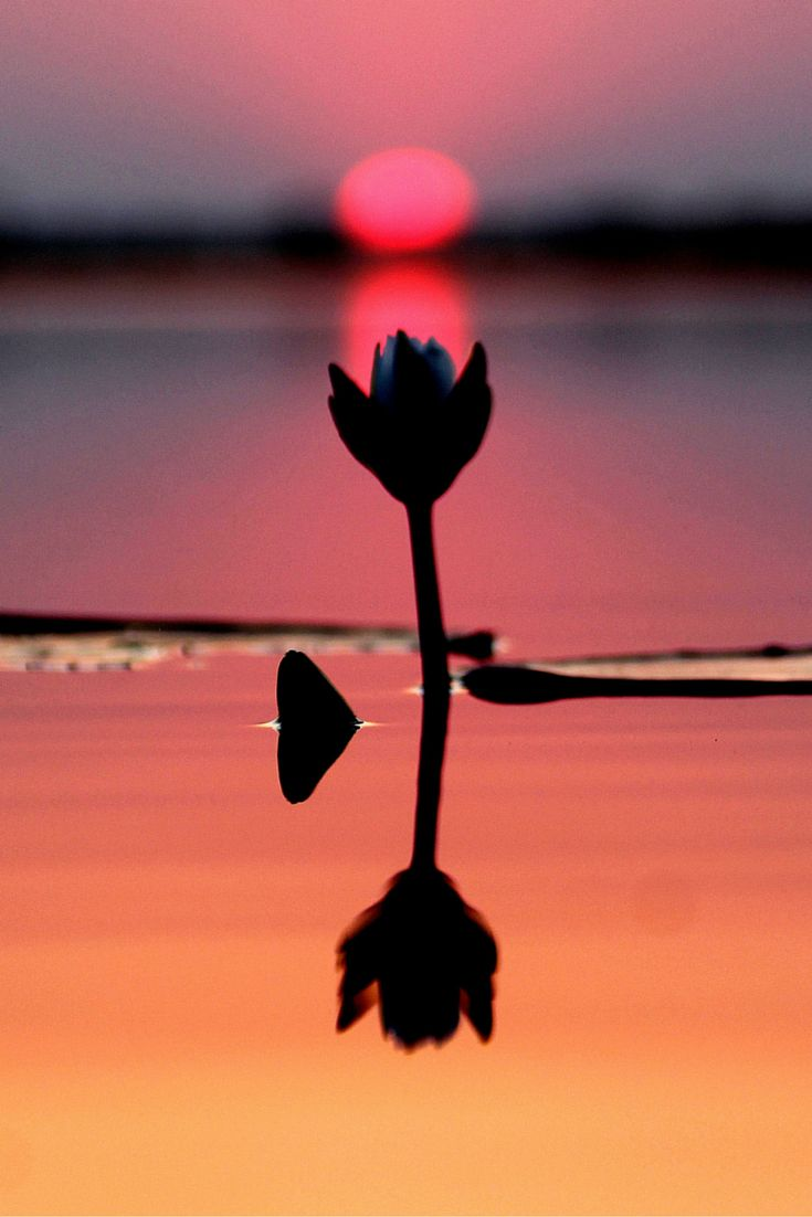 Lotus Sunset   Chobe River #zambeziqueencollection