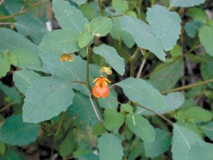 Herbal Remedies for Poison Oak and Ivy  By herballiving