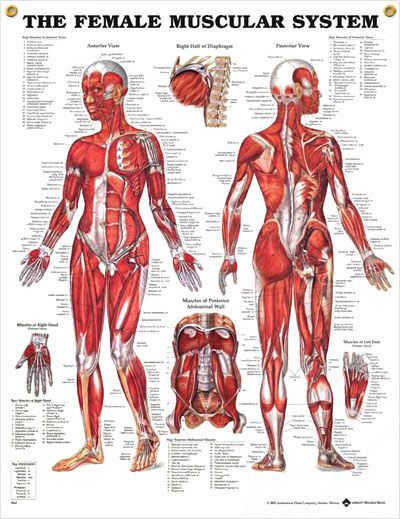 For all My Pt's, OT's, and other heathcare professionals...tons of clinical posters for the clinic! only 9.99 for a 20X26!