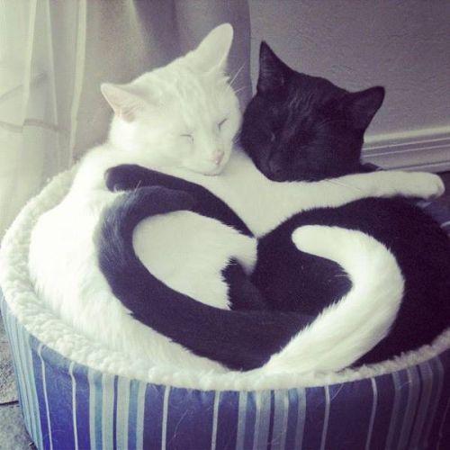 Coeur chat noir chat blanc