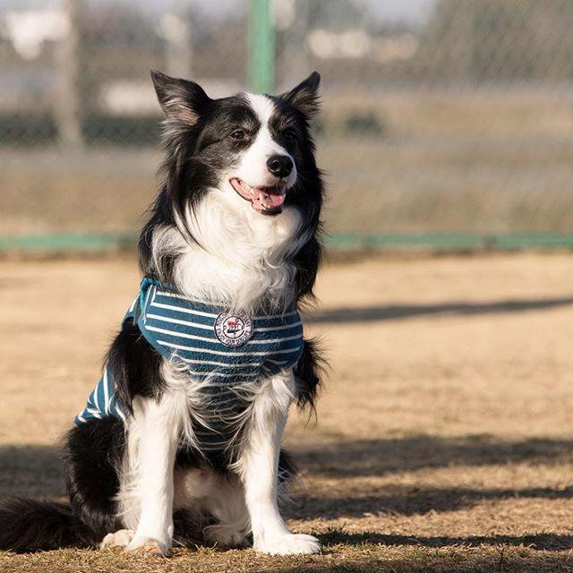 おはようございます😊 お写真のわんちゃんは ボーダーコリーのアルトちゃんです💕 お洋服もとっても似合ってて 可愛いですよね❤️ 本日は過去最強クラスの寒波が来る予報です。 お散歩に行く際も 防寒対策をしっかりとして お出かけ下さい。 雪の降る地域の方も 交通網が乱れる可能性が高いので 安全優先でお過ごし下さい😌  #ドッグラン #dogsofinstagram #dogphotography #dogpark #愛犬 #cutedog #doglover #dogstagram #instadogs #いぬすたぐらむ #like4like #follow #千葉 #印西 #千葉犬民 #dogoftheday #lovemydog #ドッグホテル #ドギーズガーデン #canon_photos #ファインダー越しの私の世界 #東京カメラ部 #インスタ映え #犬フォト #犬好きな人と繋がりたい #いぬら部 #doggies #ボーダーコリー #わんこ #bordercollie