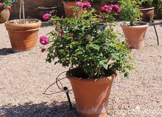 Róże w pojemnikach - Ogrodowisko
