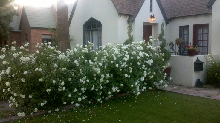 White rose hedge | For the Home | Pinterest | Hedges ...