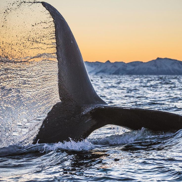 Best Whales Images On Pinterest Humpback Whale Whale - Rare moment 40 ton whale jumps completely out of the water