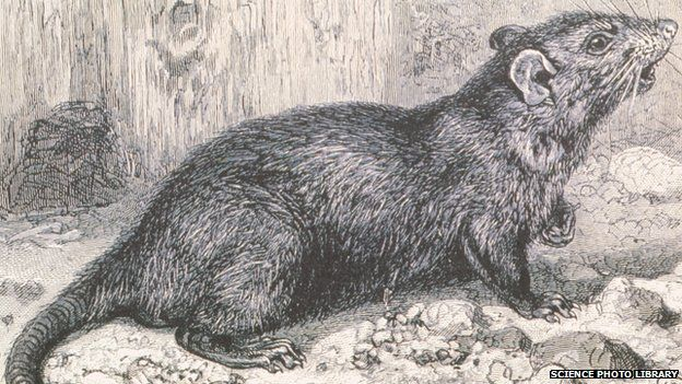 New evidence that the medieval Black Plague was spread by gerbils, and not rats http://baystateconservativenews.com