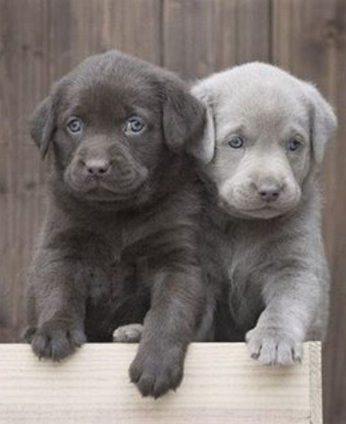 The Silver Lab wth his Chocolate friend // Silver Labrador Retriever // Labrador Retriever