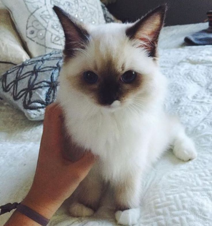 Amazing Cat: 17 Best Ideas About Siamese Cats On Pinterest